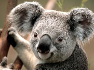 Koala Bear looking at me